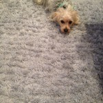 Lacey-Dog-carpet-clean